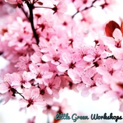 Japanese Cherry Blossom fragrance oil