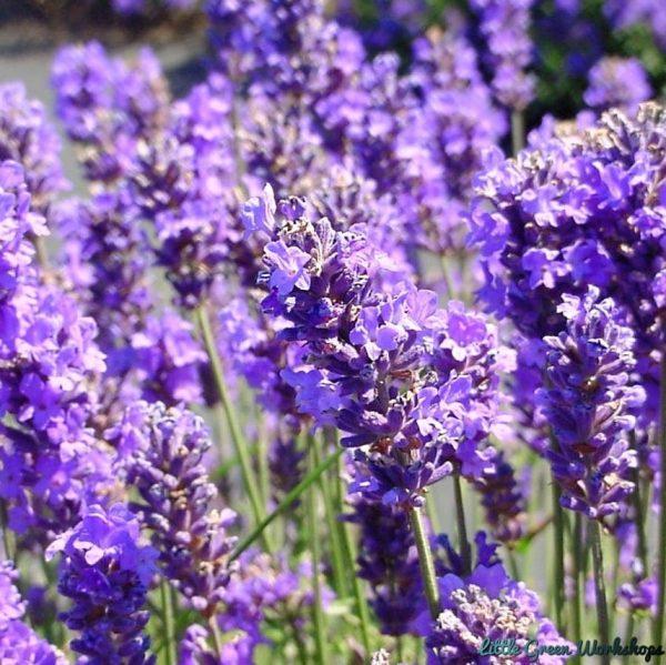 French Lavender fragrance oil