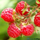 fresh raspberry fragrance oil