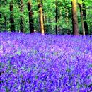 Wild Bluebell Type Fragrance Oil