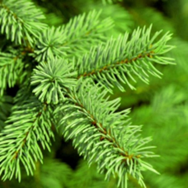 Fresh Pine and Fir Needle Fragrance Oil