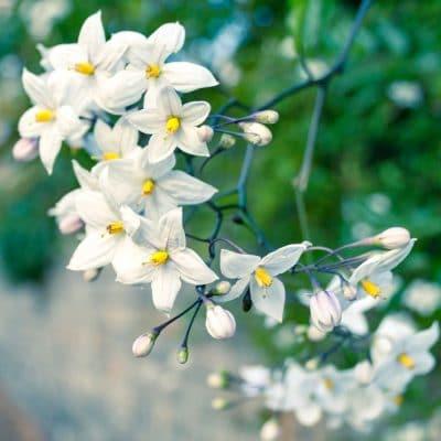 Star Jasmine and Patchouli Fragrance Oil