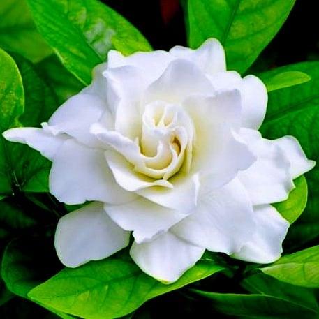 Gardenia Fragrance Oil