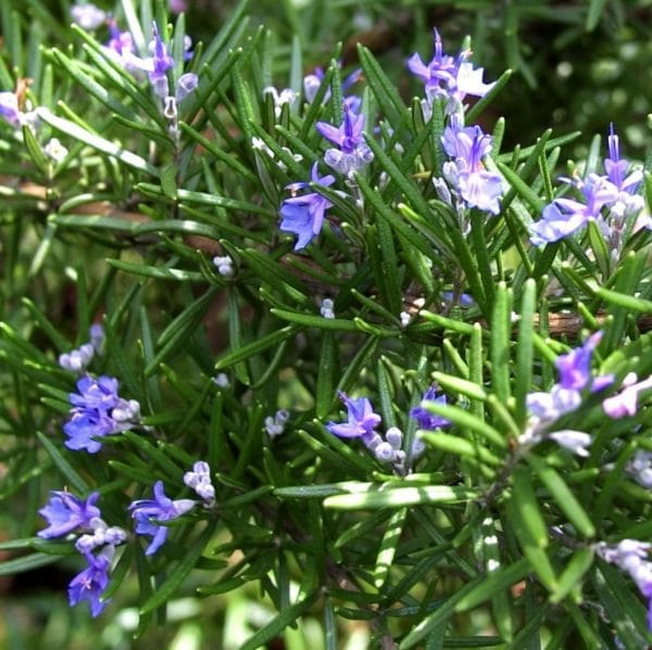 Rosemary Moroccan Essential Oil Organic