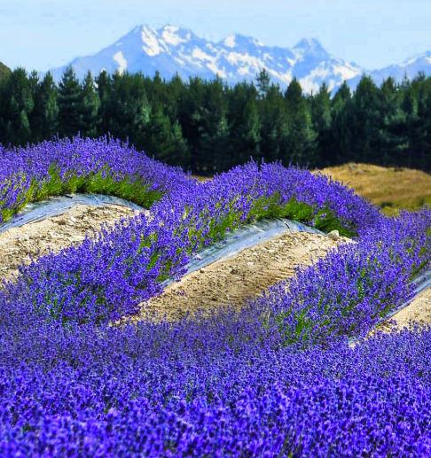Lavender New Zealand Essential Oil