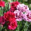 Carnation Fragrance