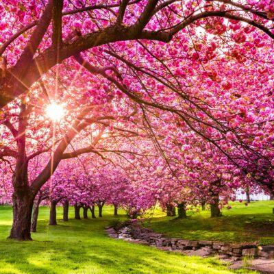 Cherry Blossom Fragrance